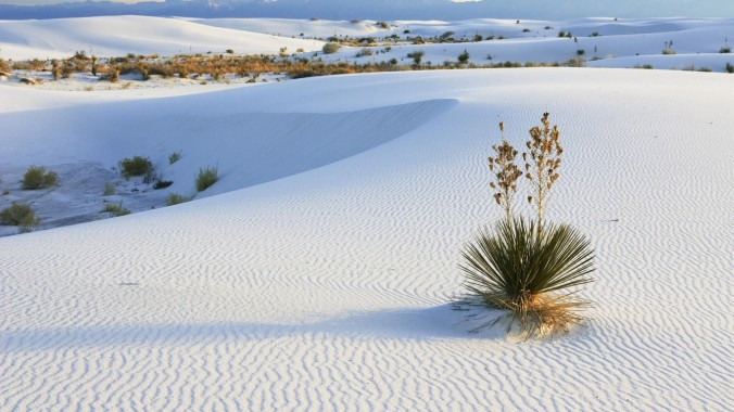 Yucca in DŸnen, Yucca elata, White Sands National Monument, New Mexico, USA / Soaptree, Yucca in dunes, Yucca elata, gypsum dune field, White Sands National Monument, New Mexico, USA